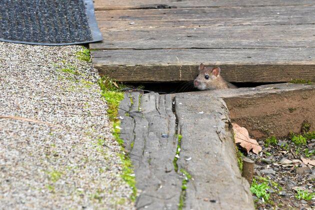Under altanen är mössen skyddade för väder och vind.