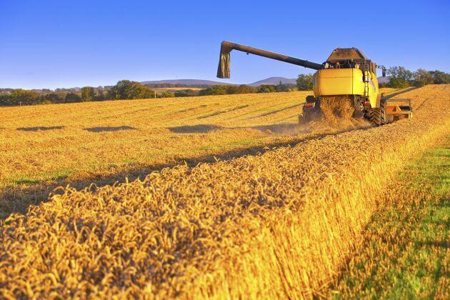 FAO sänker prognosen för världens totala veteproduktion jämfört med den prognos de gjorde i juli.