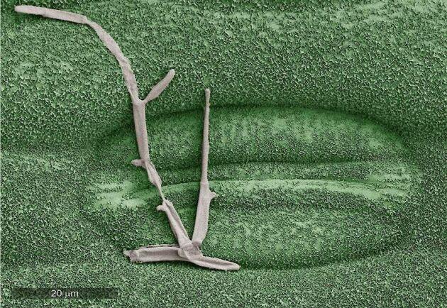 Bilden visar hur en hyf av svartpricksjuka punkterats och därmed stoppats efter att ha behandlats med SOLATENOL, den aktiva substansen i Elatus Era.