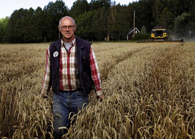 De 150 hektar höstvete som återstår att tröska för Håkan Fredriksson i Vänge klarar troligen inte kvalitetskraven för kvarnvete.