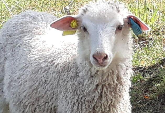 I söndags försvann detta lamm från gården utan ett spår. Hon hade nyss kommit till gården och matades fortfarande med flaska.