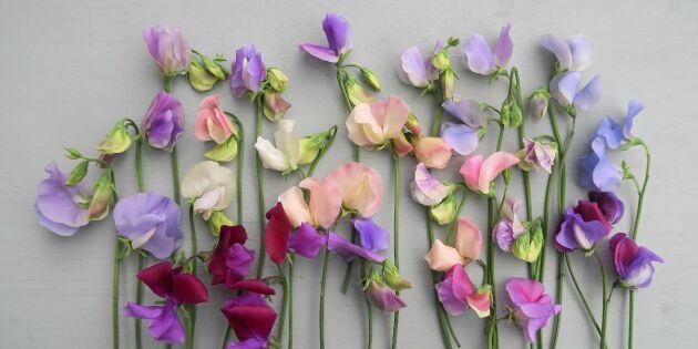 Expertens favoriter: 12 ljuvliga luktärter till din trädgård!