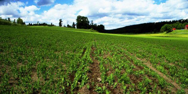 Snart 20 procent ekologisk jordbruksareal