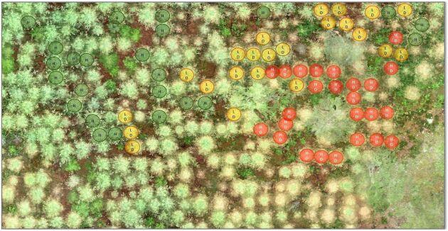 Med hjälp av drönarbilder görs märkningar på trädnivå för att lära modellen att identifiera alla lärkträd och klassificera dem som friska eller skadade.