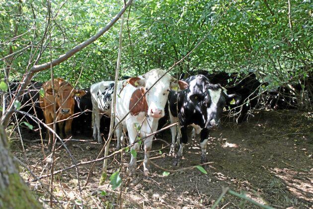 Många djur stod utan bete när vallarna slutade växa och blev nedbrända i sommarhettan. På Wapnö gård i Halland ville man inte stödutfodra eftersom foder och halm behövde sparas till uppstallningsperioden. I stället släpptes rekryterings- och köttdjur på skogsbeten.