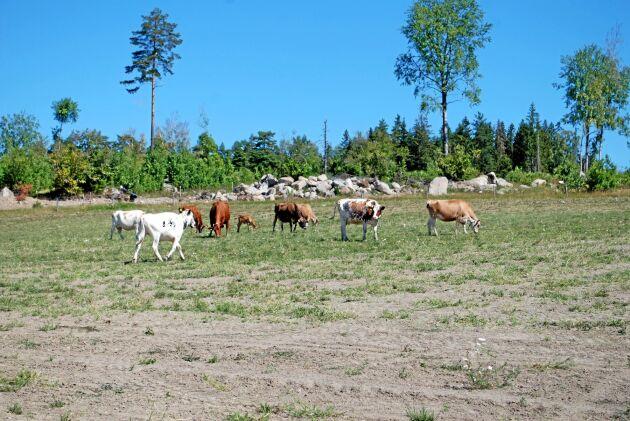 Lantbrukare i stora delar av Europa har svårt med foder i torkan. Arkivbild.