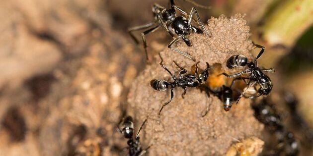 Myror kan vårda kamrater vid skador
