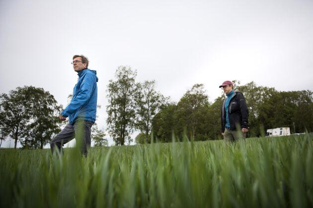 Bo Stenberg, forskningsledare på Sveriges lantbruksuniversitet, följs av Markus Hoffmann, mark- och vattenexpert på LRF, ut på ett höstvetefält på Uddetorps Naturbruksskola i Skara. Här ska en av totalt 800 tyglappar grävas ner som en del i SM i nedbrytning.