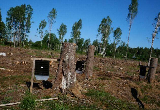 Mellanskogs fällor i Västerås finns på ett hygge bara några minuter bort från kontoret.