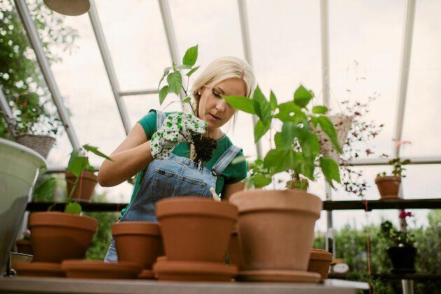 Chiliplantorna trivs bäst på balkong eller i växthus.