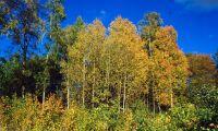 Lövträd tar höstvila för att klara torkan