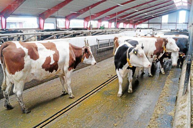 Stora mjölkbesättningar kan ta hjälp av digitala hjälpmedel, som ger god överblick på individnivå.