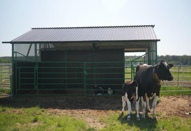 På betet finns en kalvgömma så att kalvarna får skugga. För att motivera korna att gå till roboten och lämna sina kalvar för mjölkning har vattenkaret flyttats till drivgången.