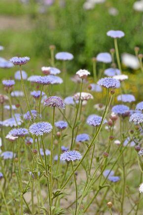 "På engelska kallas blåparasoll ""Blue Lace Flower""."