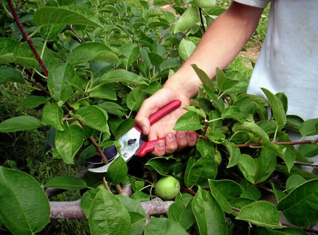 Gallra äppelträdet för att ge frukten mer ljus att mogna av.