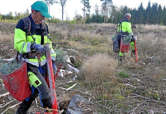 Joanna Superson och Zbigniew Superson planterar skog i Buggemåla. Arkivbild.