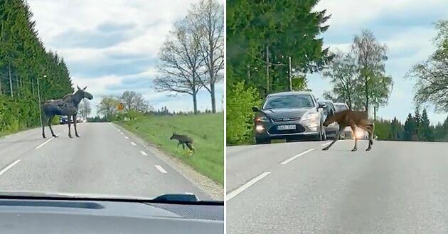 Trafiken fick stå still när mamma älg hjälpte sin kalv över vägen.