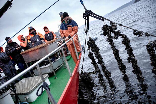 Turister får följa med ut till odlingen, som består av långa rep där musslorna fastnar och växer till.