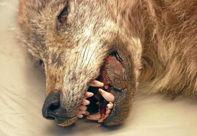 Delar av vargarnas tänder skickas på analys i USA. – Det förekommer bettproblem bland vargarna, med tänder som går emot varandra på ett annorlunda sätt när de stänger munnen. Men det är så lite att det inte påverkar funktionen, säger Henrik Uhlhorn.