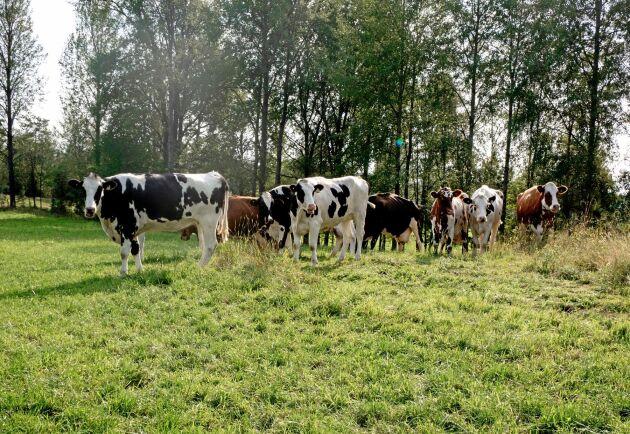 På kopensionatet består foderstaten enbart av gräs, vilket korna äter i 6-12 månader innan slakt.