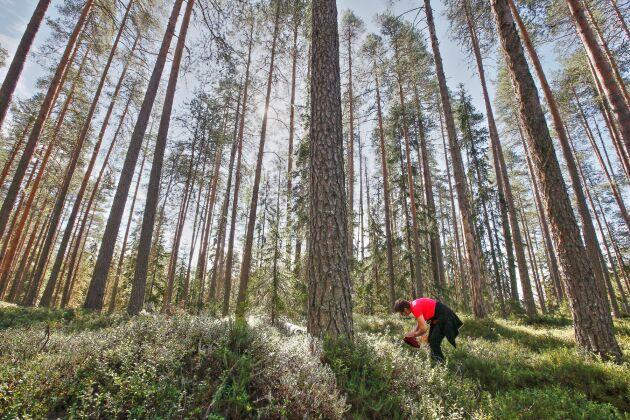 Det mesta är helt okej att plocka i skog och mark: till exempel blåbär och lingon.