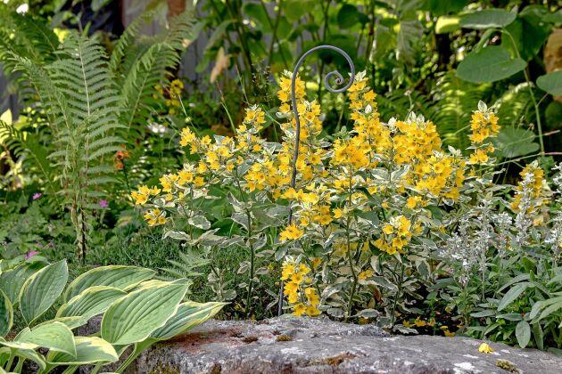 Frodiga funkiablad med gul kant passar fint ihop med brokbladig praktlysing 'Alexander' i en halvskuggig rabatt.