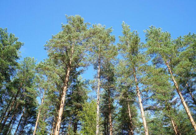 Bedömningen framåt är att skog som är dyr idag kommer att bli ännu dyrare på 20 års sikt.