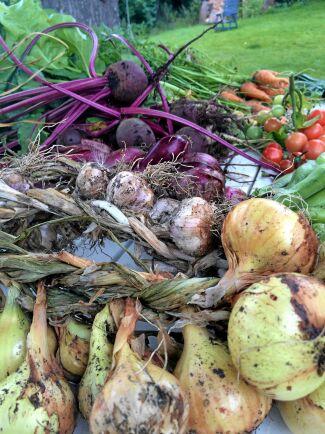 Lök och vitlök har flätats och ska hängas på tork, rotfrukterna hamnar i jordkällaren och tomaterna i frysen.