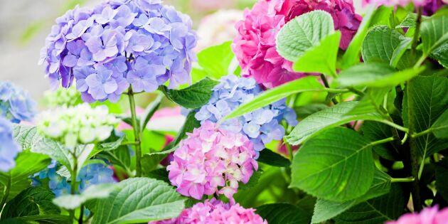 Hortensia - därför byter den färg