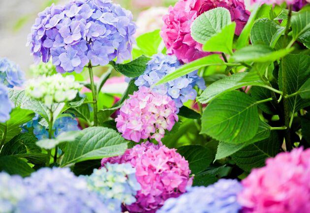 Blå eller rosa? Allt hänger på vad hortensians rötter står i.