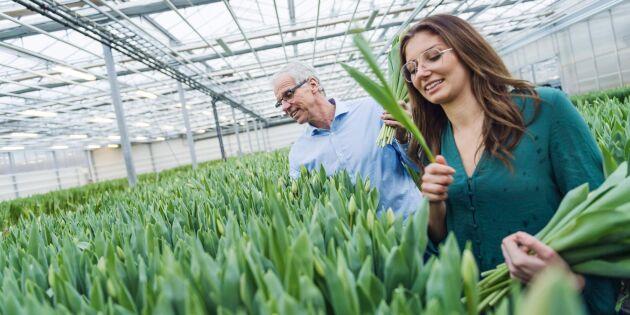 Åtta av tio sålda tulpaner är odlade i Sverige