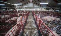Fynd av MRSA i brittisk griskött