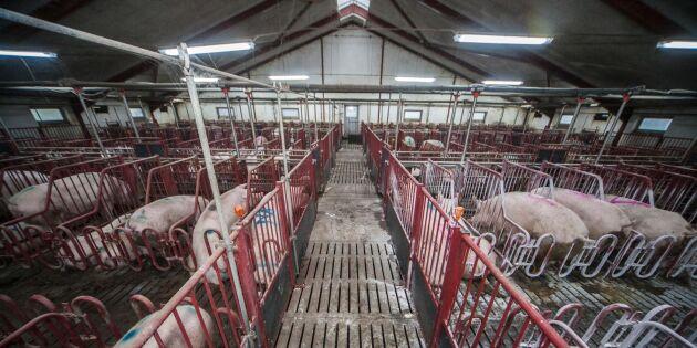 Så mycket tjänar en dansk grisföretagare