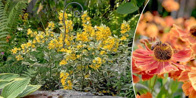 Lyckas med perenner – 31 sorter som sätter färg på trädgården