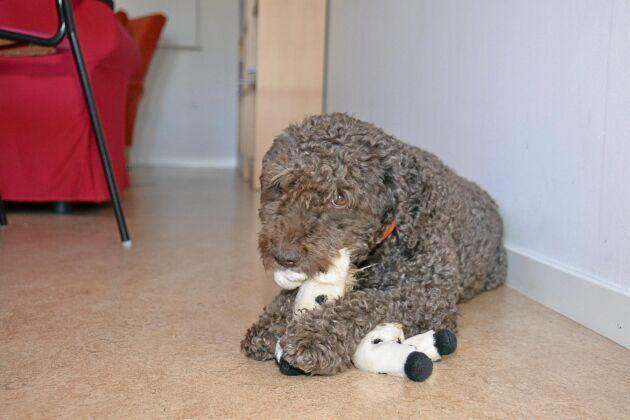 Även när Viggo bara ligger och tuggar på en leksak bidrar han till ett bättre lärande i klassrummet genom lugnet han utstrålar.