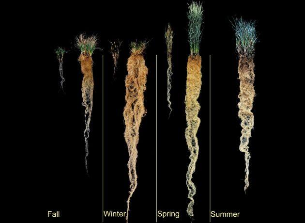 Rotlängden hos höstvete jämfört med rotlängden hos den nya grödan kernza.