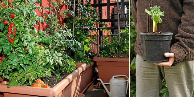 Bli balkongbonde – så odlar du ätbart i kruka