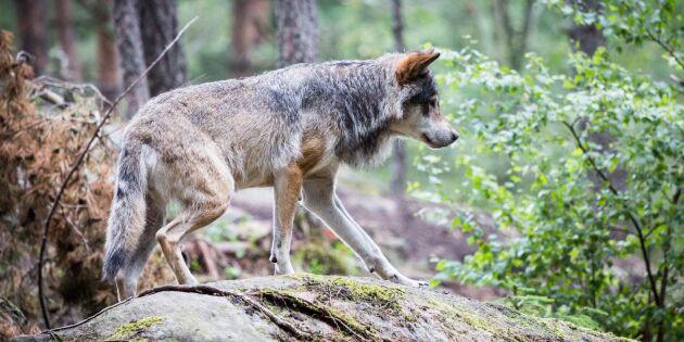 Djurägare i Jönköpings län varnas för vargattacker