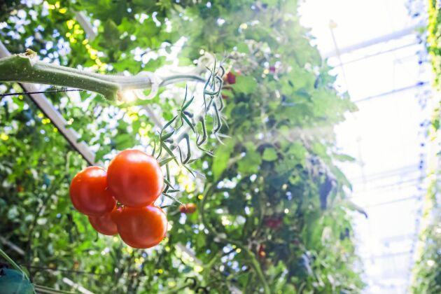 Peckas tomater odlas i ett smart kretslopp.