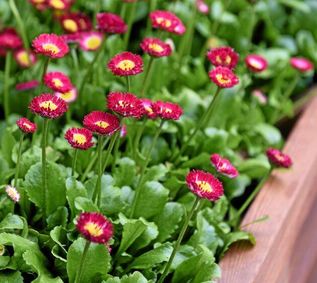 Tusensköna 'Bellissima Red' bjuder på klarröda, halv- till helfyllda blommor. Förodla inomhus från februari eller så utomhus senare på säsongen. Blommar i april-augusti, trivs i sol-halvskugga, höjd 20 cm. Tålig och lättodlad. Impecta.