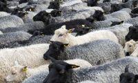 Växande efterfrågan på svensk ull