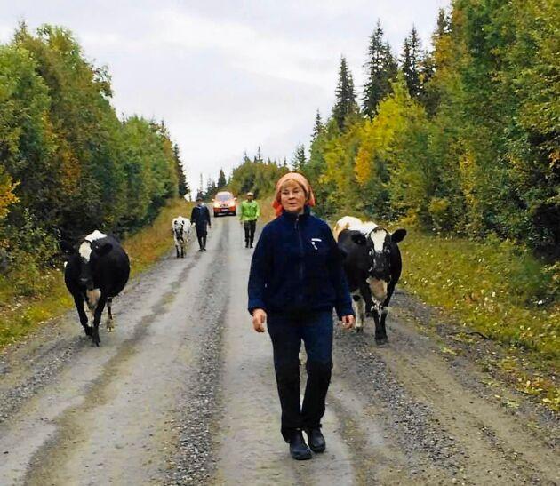 Fäbodbrukaren Anita Myhr går med sina kor till fäboden Myhrbodarna.