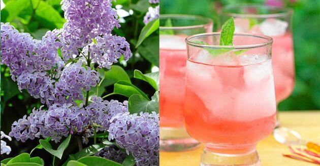 Gör läskande syrensaft av blommande syrener.
