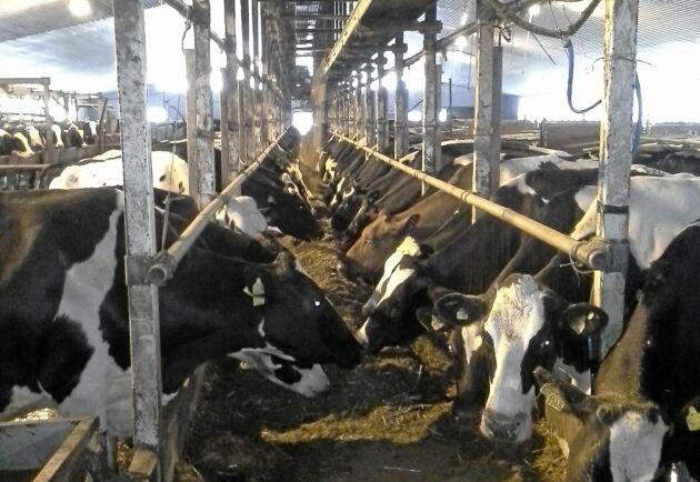 På gården finns 300 mjölkkor som mjölkas i mjölkgrop.