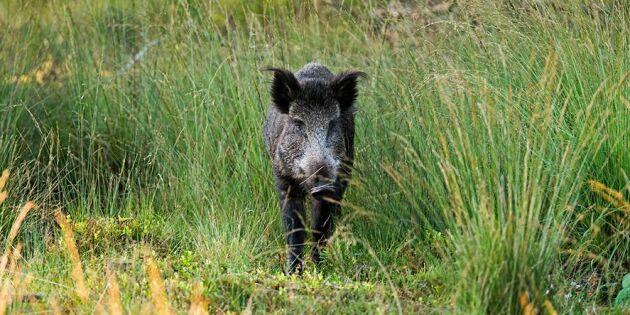 Afrikansk svinpest vid franska gränsen
