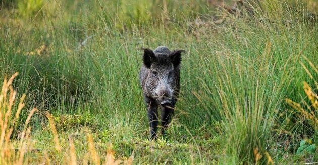Två vildsvin smittade med afrikansk svinpest har skjutits nära franska gränsen i Belgen, dock ej det på bilden.