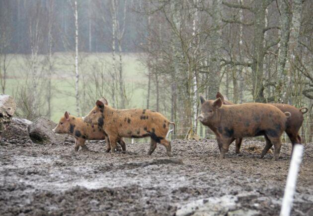 Linderödssvinen på Öxnevåls gård får i dag åka långväga till slakt.