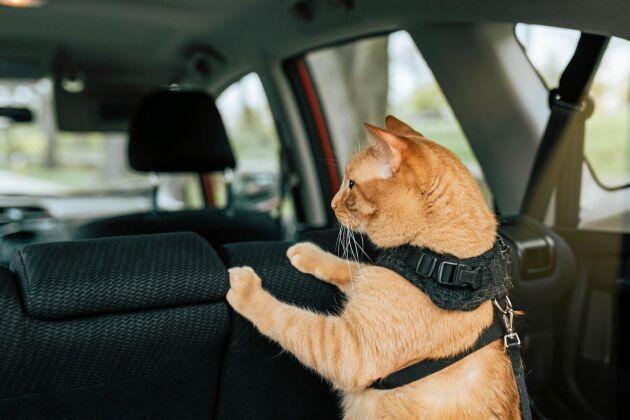 Ha sele på katten i bilen och köp en förlängning till den som du kan haka fast i bilbältet.