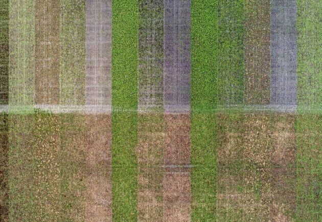 Det finns mycket som är outforskat när det gäller mellangrödor. Därför har Martin Krokstorp haft försöksodlingar på gården med nio olika blandningar.