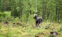Skogsstyrelsen: Vi har förmodligen underskattat betesskadornas effekter